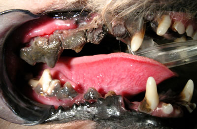 Pet dentistry healthy teeth